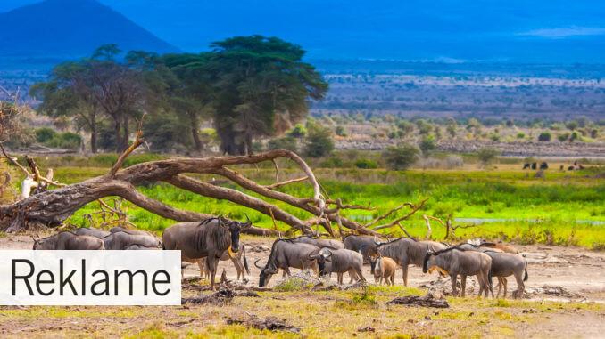 safarirejser i Kenya